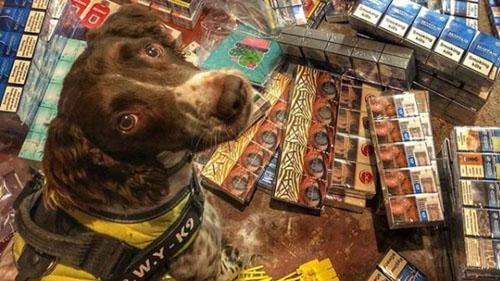 Chú chó Scamp bên một lô thuốc lá lậu được phát hiện. Ảnh: Instagram.