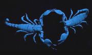 Vũ điệu giao phối của bọ cạp trong bóng đêm