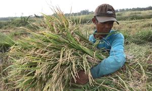 Nông dân tất bật gặt lúa trước Tết ở Sài Gòn