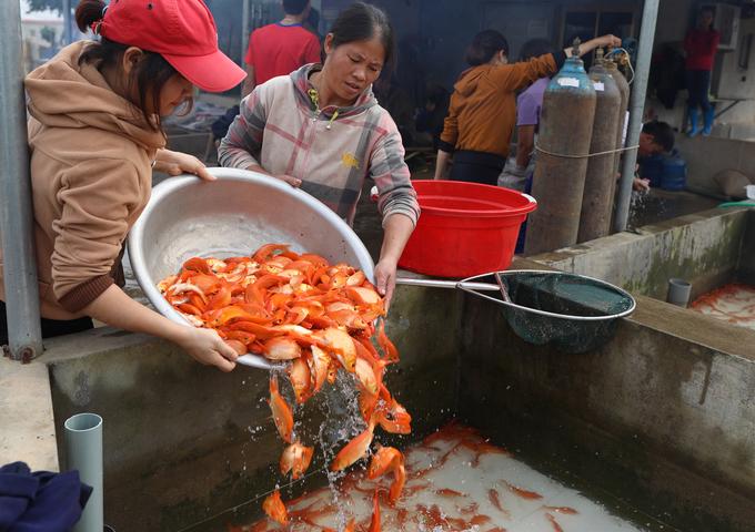 Ngôi làng bán hàng chục tấn cá chép đỏ dịp Tết ông Táo