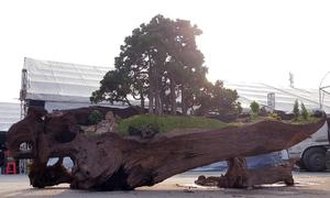 Tùng bonsai trồng trên thân cây cổ thụ giá một tỷ đồng ở Hà Nội