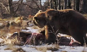 Sói xám đầu đàn quyết chiến gấu nâu giữ miếng ăn