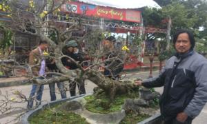Cây mai được định giá 5 tỷ đồng ở Quảng Bình