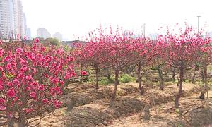 Nông dân trồng đào ở Hà Nội thiệt hại vì nắng nóng