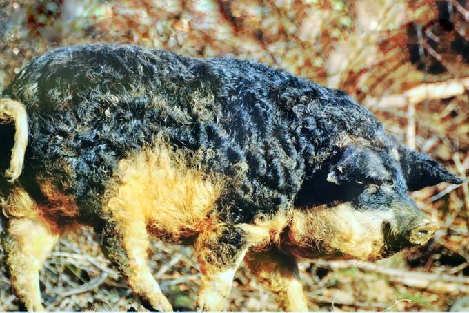 12 giống lợn trên thế giới