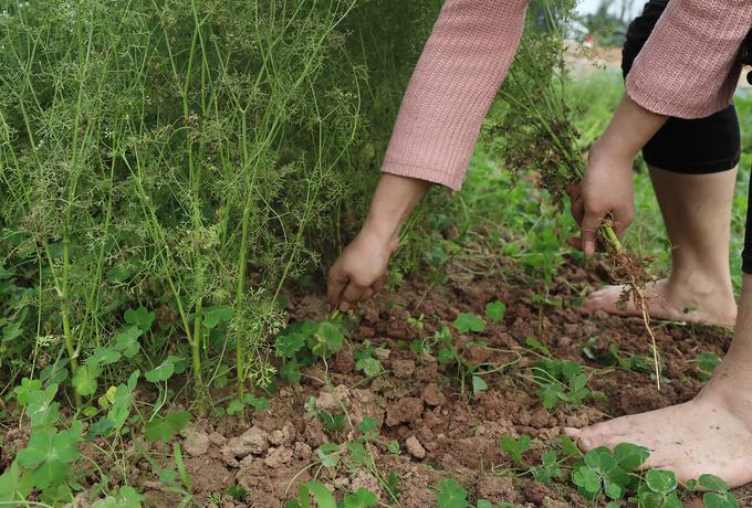 Nghề trồng cây mùi già đun nước tắm ngày giao thừa