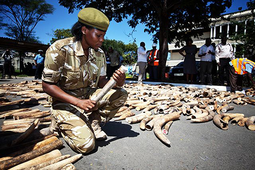 A Kenya Wildlife Service officer numbers elephant ivory tusks destined for Malaysia that were seized in the port of Mombasa in Uganda. (Photo: Ivan Lieman/AFP/Getty Images)