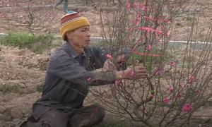 Làng trồng đào lớn nhất Nam Định nhộn nhịp trước Tết
