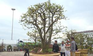 Cây mai trăm tuổi giá 3 tỷ đồng ở hội hoa xuân Đà Nẵng