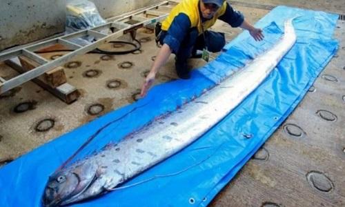 Cá mái chèo chuyên sống ở vùng biển sâu. Ảnh: SCMP.