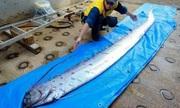 Cá mái chèo 4 mét mắc cạn, người dân Nhật lo sợ động đất