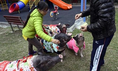 Ngày nào Tsai cũng dắt 4 con lợn cưng đi dạo ở công viên gần nhà. Ảnh: AFP.