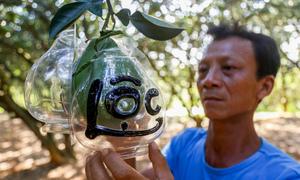 Ông nông dân Đồng Nai kiếm tiền tỷ từ vụ bưởi hồ lô dịp Tết