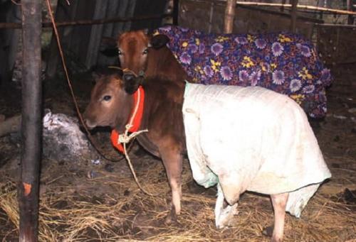 Mùa đông không lạnh của bò.