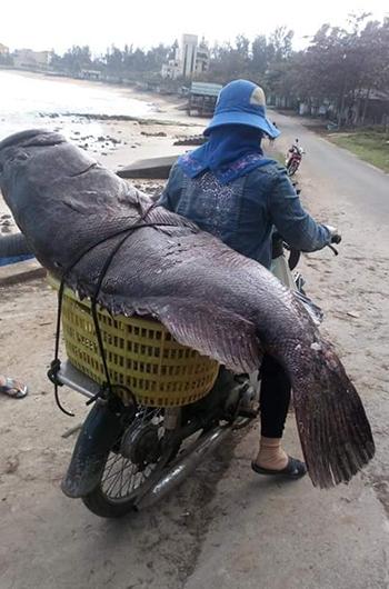 Con cá được ngư dân địa phương mua lại, chờ bán khi được giá. Ảnh:Hoàng Phong