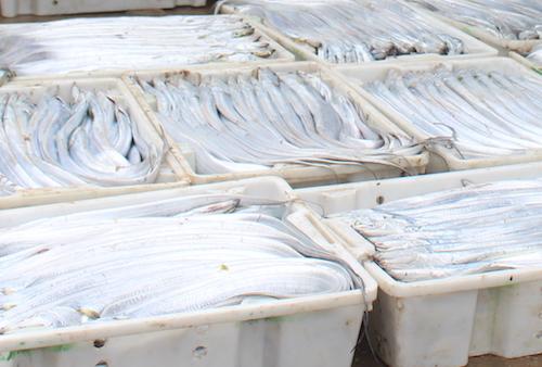 Cá hố dài chừng 60-90 cm. Ảnh: Lê Nguyễn.
