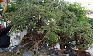 Cây me bonsai gần 200 tuổi có nguồn gốc trên núi