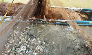 Bộ đội kéo lưới bắt cá đồng trong rừng U Minh ăn Tết