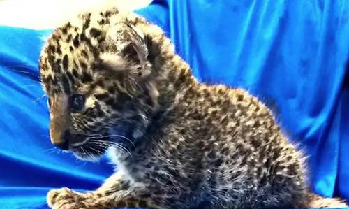 Con báo đốm một tháng tuổi bị buôn lâu từ Thái Lan sang Ấn Độ hôm nay. Ảnh: AFP.