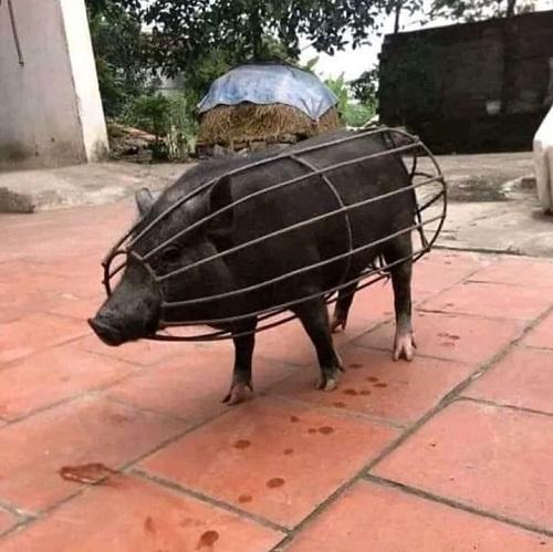 Năm con lợn vùng lên.