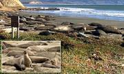 Hải cẩu voi ngang nhiên xâm chiếm bãi biển ở California