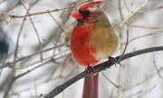 Chim 'nửa đực nửa cái' hiếm gặp xuất hiện tại Mỹ