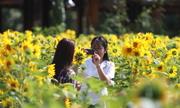 Vườn hoa hướng dương tham quan miễn phí hút khách dịp Tết