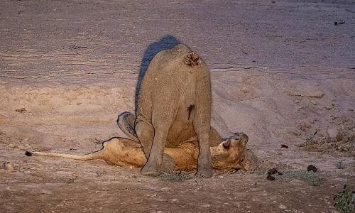 Sư tử cái bất lực không thể gượng dậy trước sức nặng của voi con. Ảnh: NJ Wight.