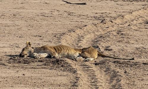 Con sư tử cái lớn tuổi chết không lâu sau cuộc đụng độ. Ảnh: NJ Wight.
