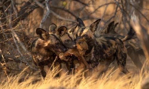 Bầy chó hoang châu Phi tranh nhau xé xác khỉ đầu chó. Ảnh: BBC.