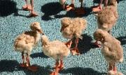 2.000 chim hồng hạc non bị bố mẹ bỏ rơi sau đợt nắng hạn