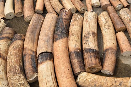 Số ngà voi bị Uganda tịch thu hôm 31/1. Ảnh: Bloomberg