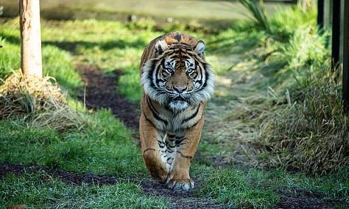 Hổ đực Asim 7 tuổi chuyển đến vườn thú London từ Đan Mạch. Ảnh: AP.