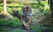 Hổ cái bị bạn tình giết ngay lần đầu hẹn hò