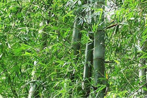 Những cây tre thân to bằng bắp chân mọc san sát nhau. Ảnh: Đắc Thành.