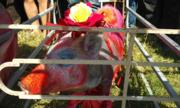12 con lợn thi chạy mừng năm mới