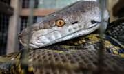 Cảnh sát Indonesia xin lỗi vì dùng rắn hỏi cung nghi phạm