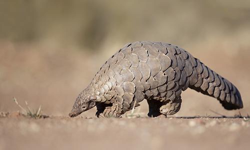 Tê tê là loài thú bị buôn lậu nhiều nhất thế giới. Ảnh: Mother Nature Network.