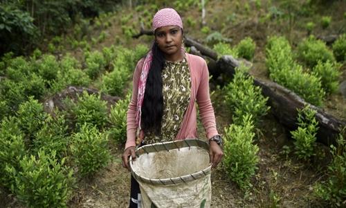 Naikelly Delgado, 36 tuổi, hái là coca thuê trong một đồn điền ở  Catatumbo hôm 9/2. Ảnh: AFP.