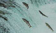 Tại sao đến kỳ sinh sản cá hồi tìm về dòng suối cũ?