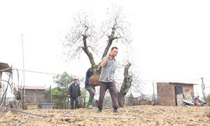 Hết Tết, nhà vườn gom hàng trăm cây đào cổ thụ về 'hồi sinh'