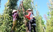 Chính quyền Bà Rịa - Vũng Tàu huy động người thu hoạch tiêu giúp dân