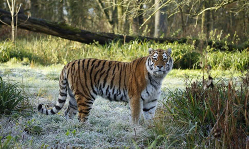 Shouri, con hổ