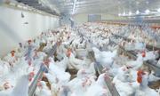 'Thủ phủ chăn nuôi' ứng dụng công nghệ 4.0