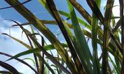 Hàng trăm hecta mía ở Phú Yên thiệt hại do bệnh vàng cháy lá