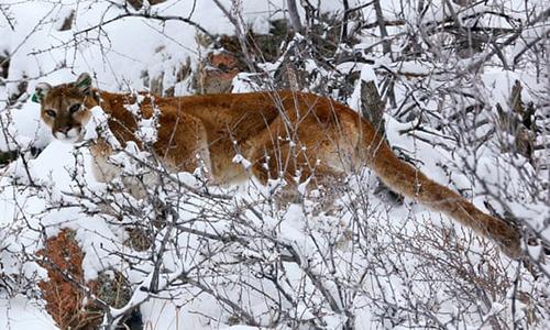 Sư tử núi trên núi Colorado. Ảnh: Reuters.