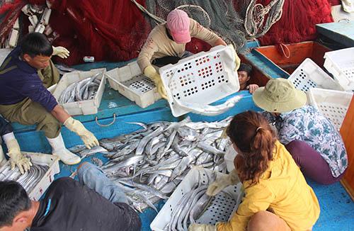 Công nhân chuyển cá từ khoang tàu lên đất liền. Ảnh: Nguyễn Văn.