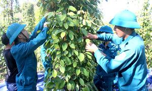 Hàng trăm bộ đội, dân quân hái tiêu giúp nông dân Bà Rịa - Vũng Tàu