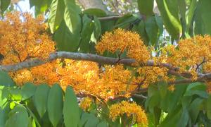 Cây vô ưu hơn 40 năm tuổi nở hoa ở Đồng Tháp