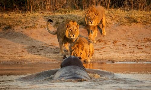 Bầy sư tử chọc tức hà mã dưới đầm khi tới uống nước. Ảnh: Jan Hrbacek.